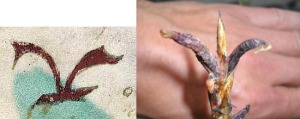 Figure 22. Left: f1r. Right: Claviceps purpurea (ergot), a psychoactive substance.