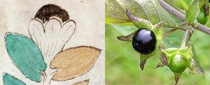 Figure 23. Left: Top of plant on f1v. Right: Atropa belladonna (deadly nightshade) which can be used recreationally.
