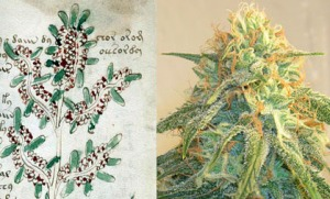 Figure 24. Left: Plant on f16r. Right: Cannabis sativa (cannabis, marijuana).