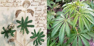 Figure 25. Left: Leaves on plant on f36v. Right: Cannabis sativa (cannabis, hemp) leaves.