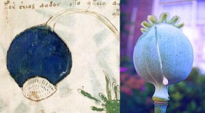 Figure 26. Left: Bulbous structure on plant on f90r1. Right: Paper somniferum (opium poppy).