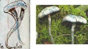 Figure 27. Left: Blue mushrooms in f99v. Right: Psilocybe serbica (European psilocybe, psychedelic mushrooms).